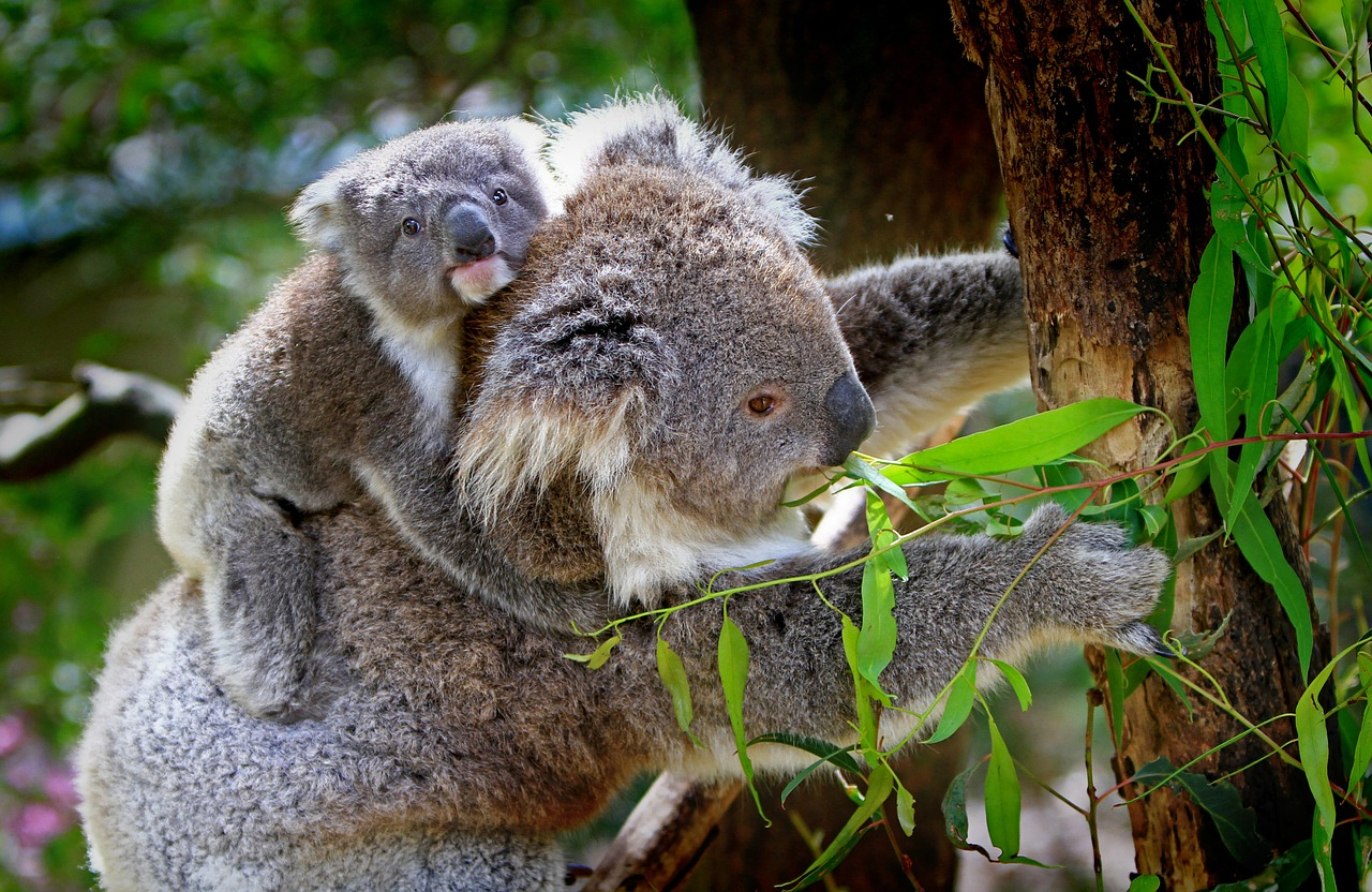 koala-61189_1280
