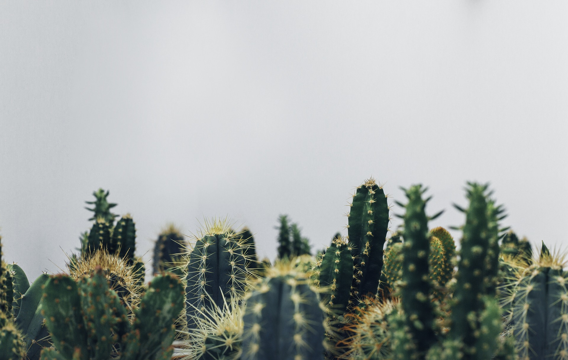 cacti-1834749_1920